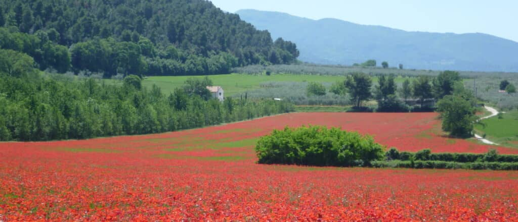 poppies field in Umbria