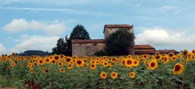 field with sunflowers and old house